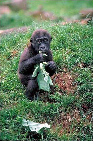 「類人猿人格」的圖片搜尋結果